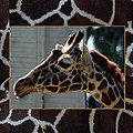 Matted Giraffe by Tony and Kristi Middleton