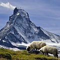 Matterhorn With Sheep From Hohbalmen by Pierre Hanquin Photographie