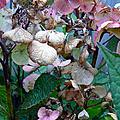Mauve Hydrangea In Fall  by Pamela Patch