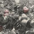 Mcintosh Apples In Partial Color by Smilin Eyes  Treasures