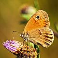 Meadow Brown Butterfly  by Elena Elisseeva