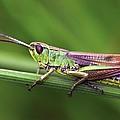 Meadow Grasshopper by Colin Varndell