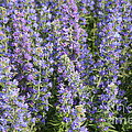 Meadow Sage Flowers by Ted Kinsman