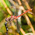 Meadowhawk by Mitch Shindelbower