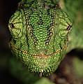Mediterranean Chameleon Chamaeleo by Hans Christoph Kappel