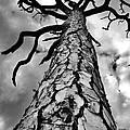 Medusa Pine by Lynda Dawson-Youngclaus