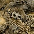 Meerkat Family by Steev Stamford