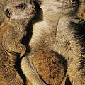 Meerkat Pups With Their Caretaker by Mattias Klum