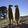 Meerkats Start Each Day With A Sunbath by Mattias Klum