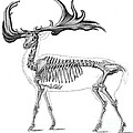 Megaloceros, Cenozoic Mammal by Science Source