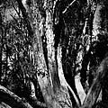 Melaleuca Tree by David Weeks