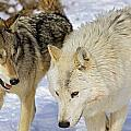 Members Of Wolf Pack by John Pitcher