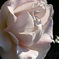 Memorial Rose by Susan Herber