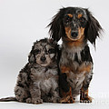 Merle Dachshund And Doxie Doddle Pup by Mark Taylor