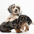 Merle Dachshund Pups by Mark Taylor