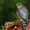 Merlin In The Rain by Inspired Nature Photography Fine Art Photography