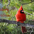 Merry Christmas Cardinal by Nava Thompson