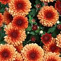 Merry Marigolds by Mike Nellums