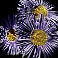Metallic Daisies by David Patterson