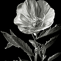 Mexican Evening Primrose In Black And White by Endre Balogh