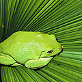 Mexican Giant Tree Frog Pachymedusa by San Diego Zoo