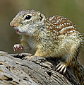 Mexican Ground Squirrel by Dave Mills