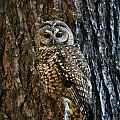 Mexican Spotted Owl Camouflaged Against by Natural Selection David Ponton