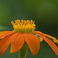 Mexican Sunflower by Eva Jo Wu