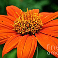 Mexican Sunflower by Susan Herber