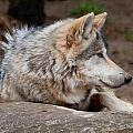 Mexican Wolf by Keith Allen