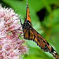 Michigan Monarch 2 by Beth Akerman