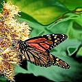 Michigan Monarch Abstract  by Beth Akerman