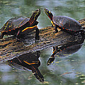 Midland Painted Turtles by Tony Beck