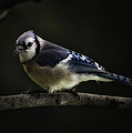 Midnight Light Blue Jay by Bill Tiepelman