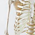 Midsection Of An Anatomical Skeleton Model by Rachel de Joode