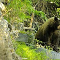 Midway - Backyard Bear by John Greaves