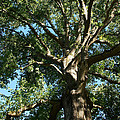 Mighty Oak by Mick Anderson