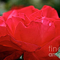 Mikado Tea Rose by Susan Herber