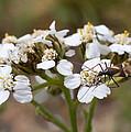Milkweed Bug Macro by Andreas Hohl