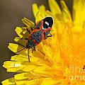 Milkweed Bug by Mitch Shindelbower