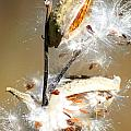 Milkweed  Explosion by Optical Playground By MP Ray