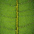 Milkweed Leaf by Steve Gadomski