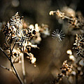 Milkweed Seed In Flight by Kristin Elmquist