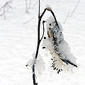 Milkweed Seed Pod In Winter by David Arment