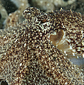Mimic Octopus Head, North Sulawesi by Mathieu Meur