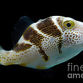 Mimic Saddle Puffer by Dant� Fenolio