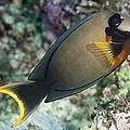 Mimic Surgeonfish by Matthew Oldfield