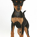 Miniature Pinscher Puppy by Mark Taylor