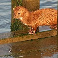 Mink Catching Fish by Paulette Thomas