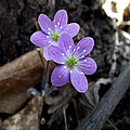 Minnesota Spring Wildflower by Brenda Hagenson